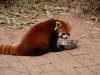 b-panda